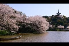 三溪園の桜