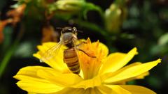 ミツバチ α