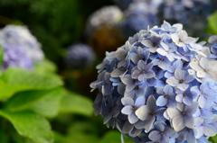 今年最後の紫陽花
