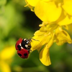 てんとう虫と菜の花