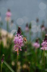 ツルボとミツバチ