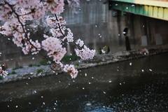 舞い散る桜・・