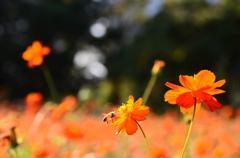 秋桜とミツバチ