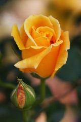 バラが咲いた♪
