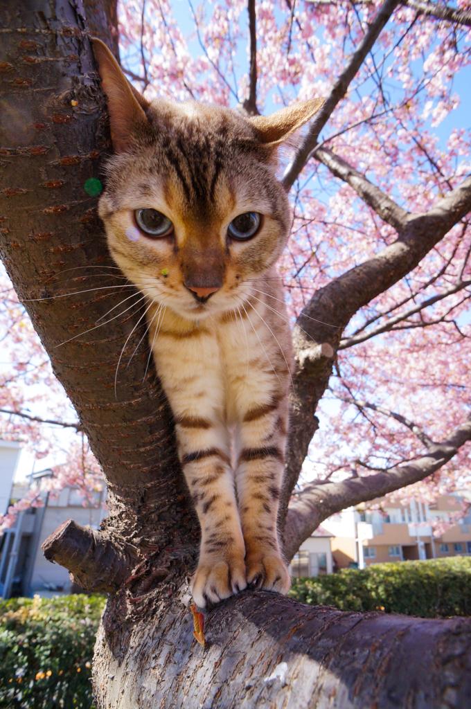 猫Onサクラ