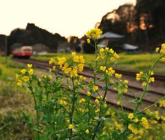 夕暮れ菜の花