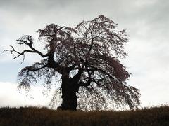 樹齢200年の枝垂れ桜