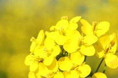 菜の花、香る①