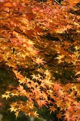 早く紅葉の季節になれ