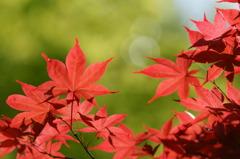 春なのに紅葉