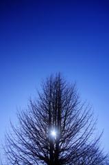 冬空 銀杏