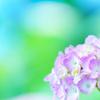 晴れ間のふんわり紫陽花