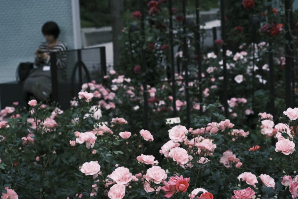 X-Pro3の薔薇 その3