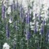 花畑のクガイソウ