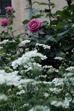 薔薇のX100F-その5