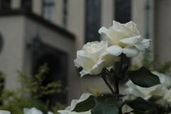 X-Pro3の薔薇 その2
