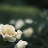 XF35㎜の薔薇