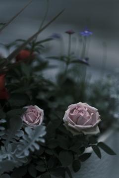 XF56㎜の薔薇 その2