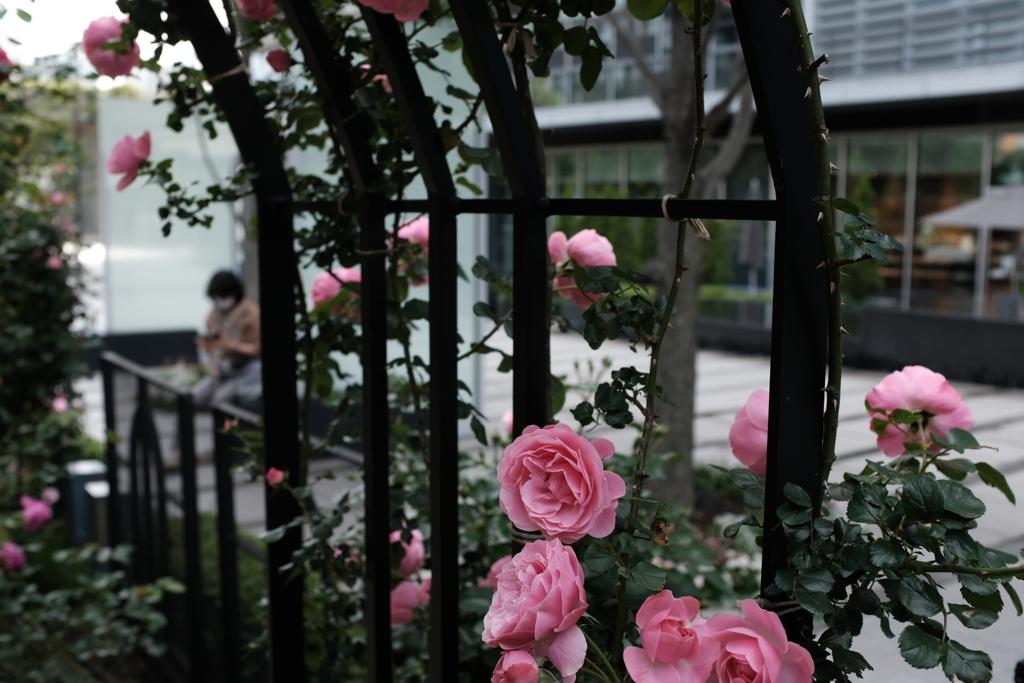 薔薇のX100F-その6