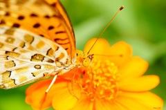 蜜を吸う蝶