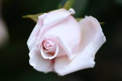 すごく薄いピンクのバラ