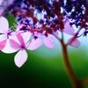 透ける紫陽花