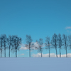 冬の白樺並木。