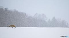 雪中、捕食のキタキツネ