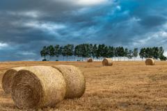 小麦、刈取りの後。