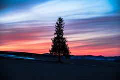 夕焼けとクリスマスツリーの木。