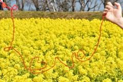 菜の花畑の赤い糸