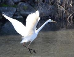 1白鷺の舞
