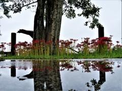 雨の日の彼岸花