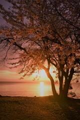 夕陽桜(縦)