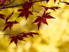 浮遊する紅葉