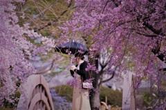 桜暖簾の女性(ひと)