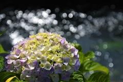 キラキラ 紫陽花