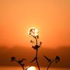 夕暮れの菜の花