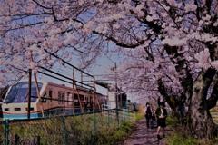 日常も今日は桜色