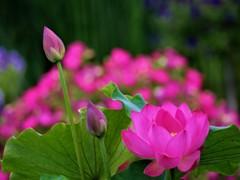 早めに咲いた蓮