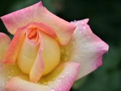 雨の日の薔薇1