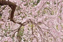 桜さえ風の中で揺れて