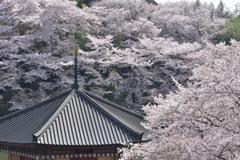 桜海に浮かぶ