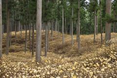 クリーム色の森