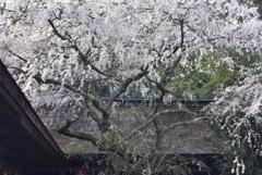 野水分神社の桜