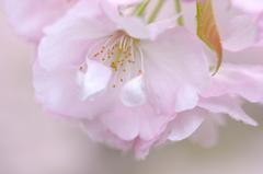 横輪桜の特徴 1