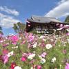 日本最古のコスモス名所