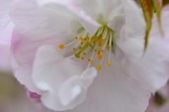 横輪桜の特徴 2