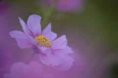 晩秋桜 1