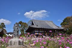 コスモス咲く寺